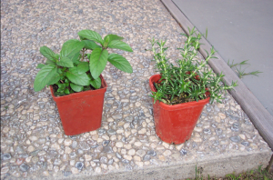 Mint (left) and Rosemary (right)