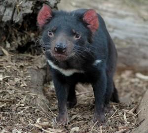 Young_tasmanian_devil