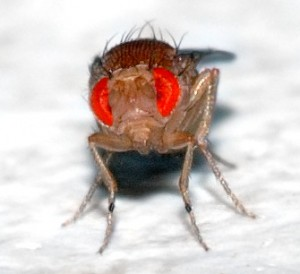 Photo taken by André Karwath http://en.wikipedia.org/wiki/File:Drosophila_melanogaster_-_front_(aka).jpg