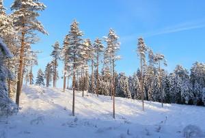 800px-Pine_stand_near_Aegviidu,_Jan_2010