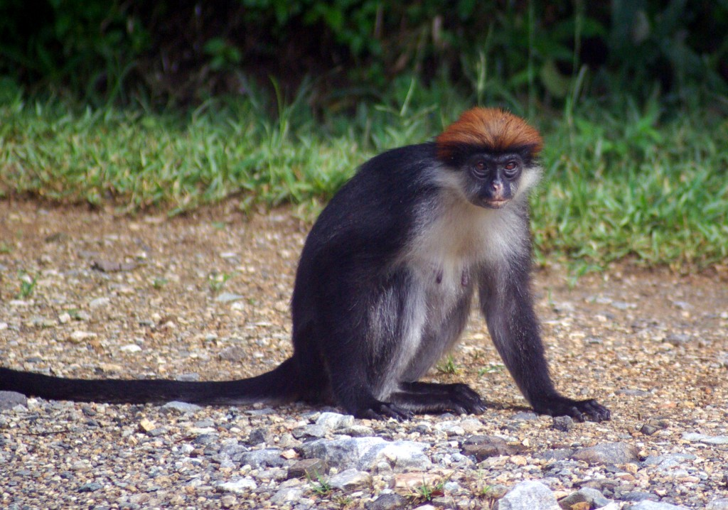 https://commons.wikimedia.org/wiki/File:Udzungwa_Red_Colobus_Stevage.JPG