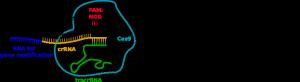 CRISPR-Cas9_mode_of_action