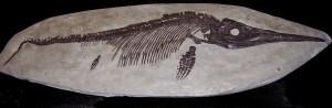 ichthyosaurus_sp_2