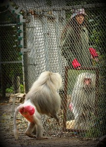 The mirror test - a Baboon looking at at his own reflection