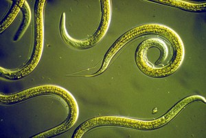 csiro_scienceimage_2818_group_of_nematodes